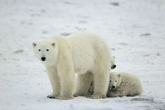 Polar she-bear with cubs. Stock Photography