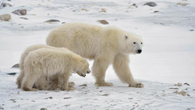 Polar she-bear with cubs. Stock Photos