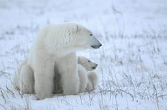 Polar she-bear with cubs stock photos