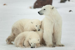 Polar she-bear with cubs. The polar she-bear  with two kids on snow-covered coast Royalty Free Stock Images