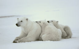 Polar she-bear with cubs. Stock Images
