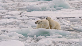 Polar Bear and cubs. Polar Bear with two cubs on the ice, Svalbard 2012 royalty free stock photo