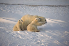 Polar bear and cubs. Polar bear cubs, male cub telling mom how to do things. Canadian Arctic Royalty Free Stock Photo