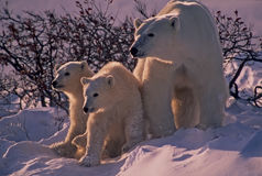 Polar bear and cubs royalty free stock images