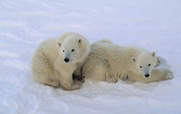 Polar bear cubs Royalty Free Stock Images