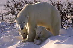 Polar bear and cubs royalty free stock photos