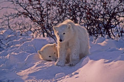 Polar bear cubs. In Arctic snow drift Royalty Free Stock Images
