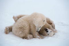 Polar bear cubs. Playing on Arctic tundra Royalty Free Stock Image