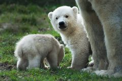 Polar bear and cubs Royalty Free Stock Photography