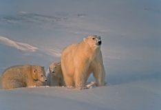 Polar bear and cubs in Canadian Arctic. Polar bear with her cubs after fresh snowfall Stock Image