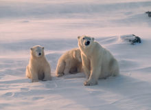 Polar bear and cubs in Canadian Arctic. Polar bear family in low Arctic light and blowing snow Royalty Free Stock Photo