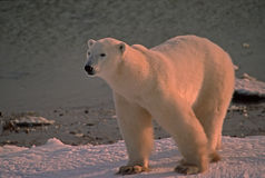 Polar bear cubs in Canadian Arctic. Female polar bear on the shore of Hudson's Bay Stock Image