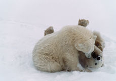 Polar bear cubs in Canadian Arctic Stock Image