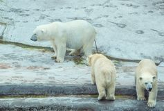 Polar bear with cubs. Defecating white polar bear with two cubs Royalty Free Stock Image