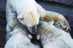 Polar bear cubs feeding Stock Images