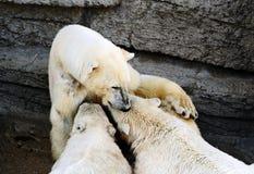 Polar bear cubs feeding Stock Photos