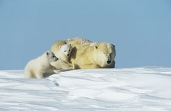 Polar Bear cubs with mother in snow Yukon Stock Images