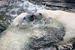 Polar bear cubs playing in water. Picture of two polar bears playfully fighting in water Royalty Free Stock Image