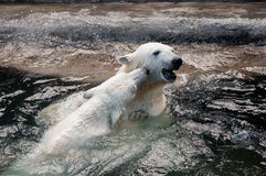 Polar bear cubs playing in water. Picture of two polar bears playfully fighting in water Stock Image