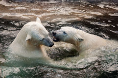 Polar bear cubs playing in water. Picture of two polar bears playfully fighting in water Royalty Free Stock Photo