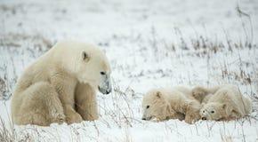 Polar she-bear with cubs. A Polar she-bear with two small bear cubs on the snow. Royalty Free Stock Photo