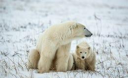 Polar she-bear with cubs. A Polar she-bear with two small bear cubs on the snow. Stock Photography