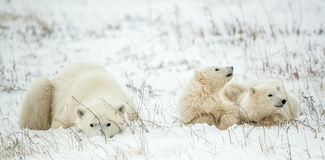 Polar she-bear with cubs. A Polar she-bear with two small bear cubs on the snow. Stock Photo