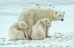 Polar she-bear with cubs. A Polar she-bear with two small bear cubs on the snow. Stock Image