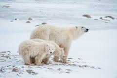 Polar she-bear with cubs. A Polar she-bear with two small bear cubs on the snow. Royalty Free Stock Photos