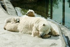 Polar she-bear with cubs sleeps Royalty Free Stock Image