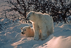 Polar bear cubs in snow bank, backlit Stock Photos