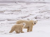 Polar she-bear with cubs. Polar she-bear with cubs in snow and ice ready  to hunt in winter season Royalty Free Stock Photo