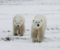 Polar bear with a cubs in the tundra. Canada. Royalty Free Stock Photos