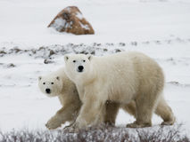 Polar bear with a cubs in the tundra. Canada. Stock Image