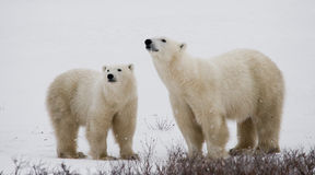 Polar bear with a cubs in the tundra. Canada. Stock Photography
