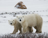 Polar bear with a cubs in the tundra. Canada. Royalty Free Stock Image