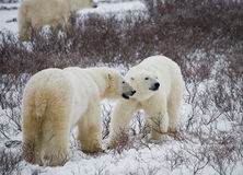 Polar bear with a cubs in the tundra. Canada. Stock Photo