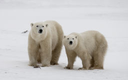 Polar bear with a cubs in the tundra. Canada. Stock Images