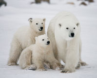 Polar bear with a cubs in the tundra. Canada. Royalty Free Stock Photography