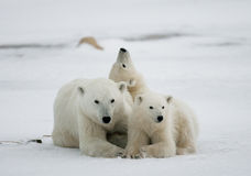 Polar bear with a cubs in the tundra. Canada. royalty free stock photo