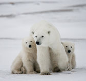 Polar bear with a cubs in the tundra. Canada. An excellent illustration royalty free stock photo