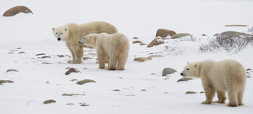 Polar bear with a cubs in the tundra. Canada. An excellent illustration royalty free stock photography