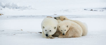 Polar she-bear with cubs. Royalty Free Stock Photography