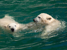 Polar bear cubs in the water stock images