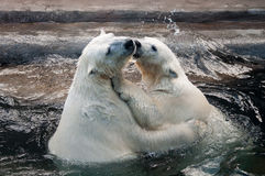 Polar bear cubs in water. Swimming teen polar bears hugging each other in water Stock Photo