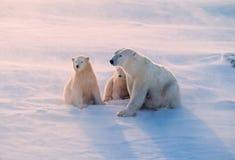 Polar bear and cubs in weak Arctic sunlight. Polar bear family in blowing snow, Canadian Arctic Stock Photos