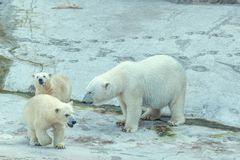 Polar bear with cubs. White polar bear with cubs Royalty Free Stock Photography