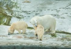 Polar bear with cubs. White polar bear with cubs Royalty Free Stock Images