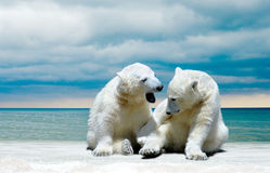 Polar Bear cubs on a winter beach Royalty Free Stock Image