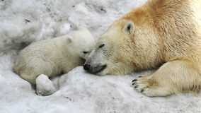 Polar She-bear cuddling to bear baby
